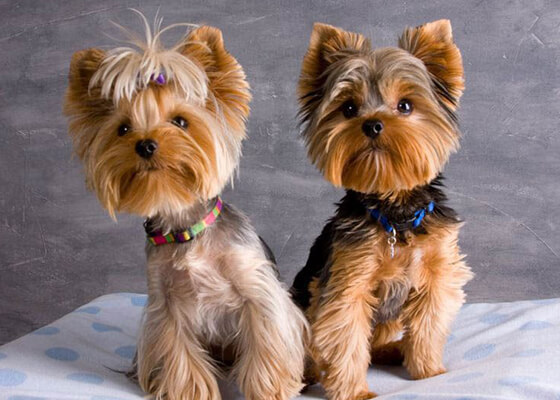 Yorkie Baby Dolls Yorkies For Sale In Southern California 760